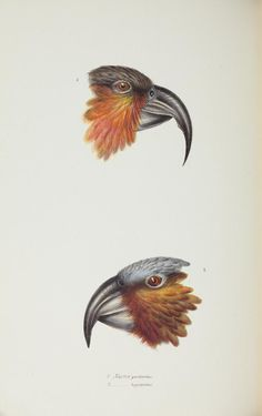 1 - A synopsis of the birds of Australia, and the adjacent Islands / - Biodiversity Heritage Library