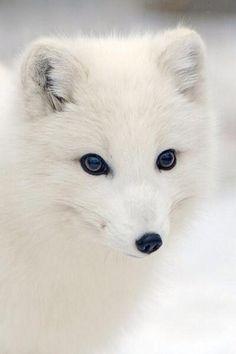極地小精靈北極狐,瞇瞇眼讓人好想摸 | 鍵盤大檸檬