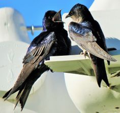 Purple Martins in their gourds.