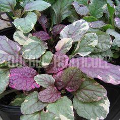 image de Ajuga reptans Burgundy Glow Planting Flowers, Glow, Burgundy, Photos, Image, Gardens, Flower Colors, Index Cards, Plants