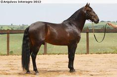 Lusitano - stallion Dali Interagro