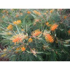 Grevillea banksii Honey Gem
