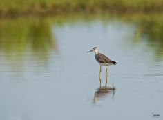 Lesser Yellowlegs  Tringa flavipes  Common winter resident, with a few non-breeders lingering in summer