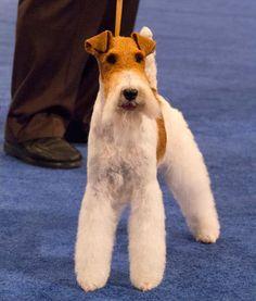 sky the fox terrier  National Dog Show winner!