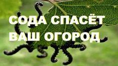 СОДА ОТ МУРАВЬЕВ | Дачники