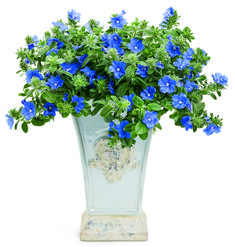Blue My Mind™ Evolvulus (Dwarf Morning Glory) - Its drought, heat, and humidity tolerance makes it an excellent choice for gardeners with extreme temps. Loves full sun and is an annual except in zones 9 to 11. Is an exceptional spiller in container gardens.