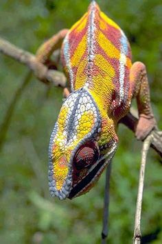 Chamaeleo pardalis, a chameleon species found in the forests of Madagascar. Chameleons can produce a wide range of colors and patterns on their skin, but they do this primarily to express mood, not to blend in with different environments.    Photo courtesy David Parks