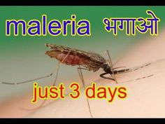 Maleria Treatment In Hindi And Urdu|Malaria Ka Gharelu Ilaj  In Hindi An...
