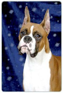 """Boxer Cutting Board by Canine Designs. $29.95. Made of tempered glass making it virtually unbreakable.. Heat resistant.. Hygenic and easy to clean.. Size: 8"""" x 11"""". Scratch Resistant - imprinted on back. Our beautiful, dog breed cutting boards will enhance any kitchen. They make great gifts, are made of tempered glass and measure 9"""" x 12"""". They are heat resistant, scratch resistant, virtually unbreakable, easily cleaned and dishwasher safe."""