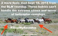 Wild horses are dying during horrific helicopter roundups.  Please share and take action.  America wants to keep their wild horses roaming free on their designated lands.