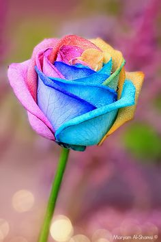 Rainbow rose - I would love to have this in my garden! Más Rainbow rose - I would love to have this in my garden! Beautiful Rose Flowers, Love Rose, Amazing Flowers, My Flower, Beautiful Flowers, Roses Photography, Wallpaper Flower, Rainbow Flowers, Neon Flowers