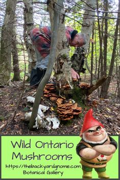Just another day in the forest hunting for some wild honey mushrooms (Armillaria) near Tobermory, Ontario. Wild Mushrooms, Stuffed Mushrooms, Tobermory Ontario, Wild Honey, Different Plants, Hunting, Around The Worlds, Backyard, Activities
