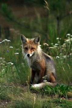 tulipnight: Kit Red Fox by http://fineartamerica.com/profiles/robert-bales.ht on Flickr.