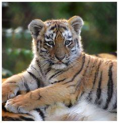 Siberian Tiger Cub 1 by Wolfy2k4.deviantart.com on @DeviantArt