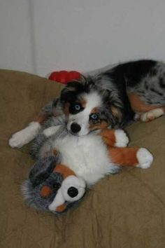All Australian Shepherds, All the Time American Shepherd, Aussie Shepherd, Australian Shepherds, Cute Puppies, Cute Dogs, Dogs And Puppies, West Highland Terrier, Scottish Terrier, Rottweiler