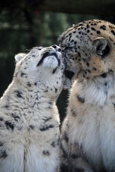 Affectionate Clouded Snow Leopards.