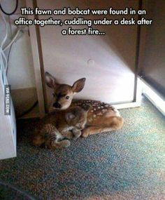 A fawn and a bobcat cub comfort each other after a forest fire.