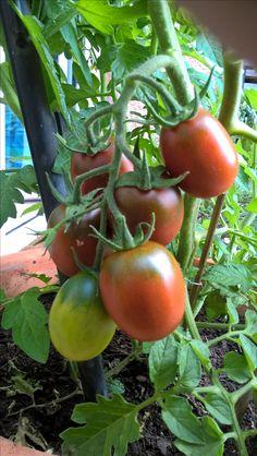 Tomaten anbauen  http://www.hobbygarten.de/tomaten/