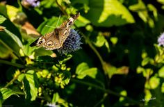 This delicate Buckeye butterfly rests and feeds on a flower in the garden.