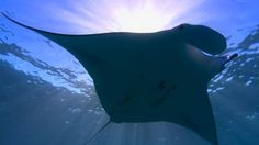 Rays glide through the Australian waters showing off their sweeping fins. [From: Undersea Edens]