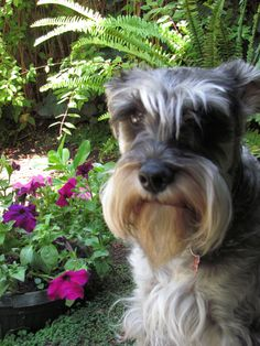 Aww this little Mini schnauzer is posing for a picture in the garden next to some beautiful flowers, adorable schnauzer❤️