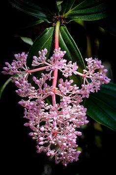 Philippine orchid / Medinilla magnifica | by stoplamek