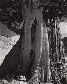 Cole Weston,Edward Weston - Juniper, 1937, printed...