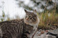 (N) Stiv Kuling`s Burning Love, Cats, Animals, Gatos, Animales, Animaux, Animal, Cat, Animais