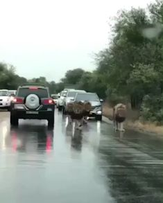 """Traffic in Africa. """"oh you wanted to build a road huh? NOBODY will be on time!"""" - Traffic in Africa. Funny Animal Videos, Cute Funny Animals, Cute Baby Animals, Cute Cats, Big Cats, Nature Animals, Animals And Pets, Wild Animals, Beautiful Creatures"""