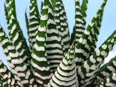 Haworthia attenuata (Zebra Plant) → Plant characteristics and more photos at: http://www.worldofsucculents.com/?p=578