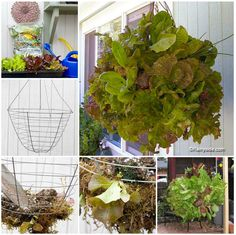 wire and Moss Lettuce Hanging Basket