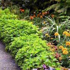 Mint Edging Hillside Garden, Garden Shrubs, Shade Garden, Garden Beds, Garden Plants, House Plants, Garden Rake, Brick Garden, Easy Garden