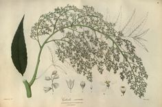 llustrations of the botany and other branches of the natural history of the Himalayan Mountains ?and of the flora of Cashmere /by J. Forbes Royle. (1839)