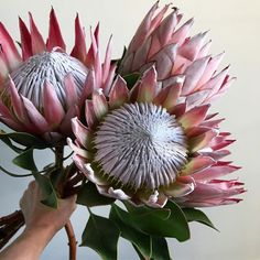 king protea to the max - photo by camelback flowershop Protea Art, Protea Flower, King Protea, Australian Native Flowers, Language Of Flowers, Tropical Flowers, Calla Lily, Floral Bouquets, Flower Photos