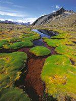 Formas de vida en cojín de Plantago, en hábitats pantanosos de la Sierra Nevada del Cocuy.