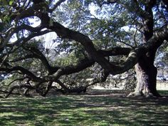 live oaks are common  Google Image Result for http://www.localecology.org/images/live_oak_tidewatergardener.JPG