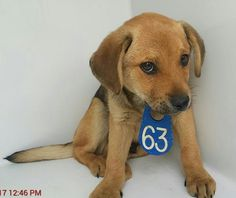02/27/17-HOUSTON - SUPER URGENT - This DOG - ID#A478490 I am a male, tan and black German Shepherd Dog mix. The shelter staff think I am about 13 weeks old. I have been at the shelter since Feb 27, 2017. This information was refreshed 12 minutes ago and may not represent all of the animals at the Harris County Public Health and Environmental Services