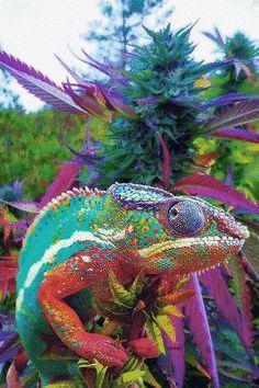chameleon on cannabis Cannabis, T Bo, Dark Disney, Seeds For Sale, Ganja, Chameleon, Blue Flowers, Abstract, Artist
