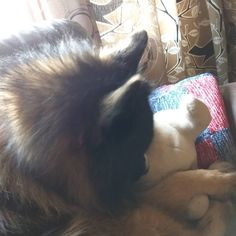 """25 gilla-markeringar, 0 kommentarer - Paula🇫🇮 (@paula_helenas_) på Instagram: """"Bella sköter mumintrollet 🐶Tycker hon verkar lite skendräktig❤Nu har jag suttit i soffan med Bella…"""" Dogs, Animals, Instagram, Animales, Animaux, Pet Dogs, Doggies, Animal, Animais"""