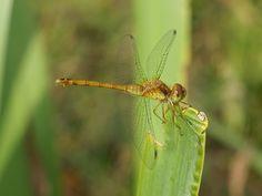 Photos de libellules du Québec - Odonates du Canada - Libellule - Odonate - Odonatoptères - Zygoptères - Demoiselles - Dragonfly - Dragonflies - Damselflies - Damselfly