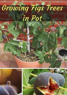 #17. Potted Fig Tree: Figs are sweet, chewy and healthy!