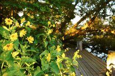 Solar, knappar och bollar – Skålört, Silphium perfoliatum, får mängder med klargula solformade blommor från slutet av juli och in i september. En riktigt storvuxen perenn som blir runt 2 meter hög och skapar mycket miljö där den breder ut sig runt en av bryggorna i Klosterparken. Under gynnsamma förhållanden i riktigt näringsrik jord kan den bli upp emot 4 meter hög. På äldre plantor har de yttre stjälkarna en tendens att vika sig så man kan behöva sätta in stöd. Trivs i soligt läge. Ej så… Former, Compass, Garden, Plants, September, Tips, Sun, Advice, Lawn And Garden