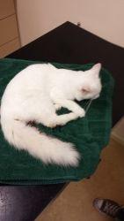 gevonden sinds:21-10-2013:Antwerpen gevonden:Poppelvermist/gevonden:2382 Ravelshttp://gevondenenvermistehuisdieren.be/index.php?item=view_class&id=9491  Chip/tatoeage:geenBeschrijving:Witte kat, met grote witte staart en blauwe ogen.