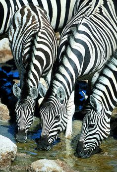 Zebras drinking by Paul Goldstein. Wow!! just cannot believe how the most incredible Zebras pins just keep coming! This one is absolutely fab!!! Looove looking at all the movement of the stripes