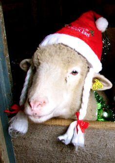 ready for Christmas sheep Noel Christmas, Christmas Animals, Country Christmas, Vegan Christmas, Animal Pictures, Cute Pictures, Farm Animals, Cute Animals, Santa's Little Helper