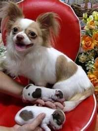 Adorable chihuahua puppies with heart-shaped markings like their …