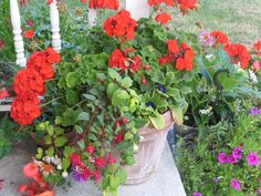 Note to self: Tuck fuschia starts, bulbs, etc. into planters. Be surprised when they bloom and you had forgotten they were there under the geraniums... happy moment!