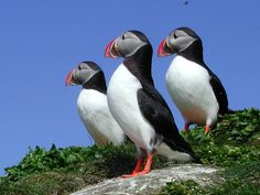 Go birdwatching - see the adorable Puffins at Hornøya, Northern Norway