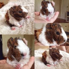 Baby Guinea pig, only 1 day old...!!!