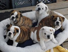 """16 Reasons English Bulldogs Aren't The Friendly Dogs Everyone Says They Are"" by Lisa Jones - Aug 7, 2015 